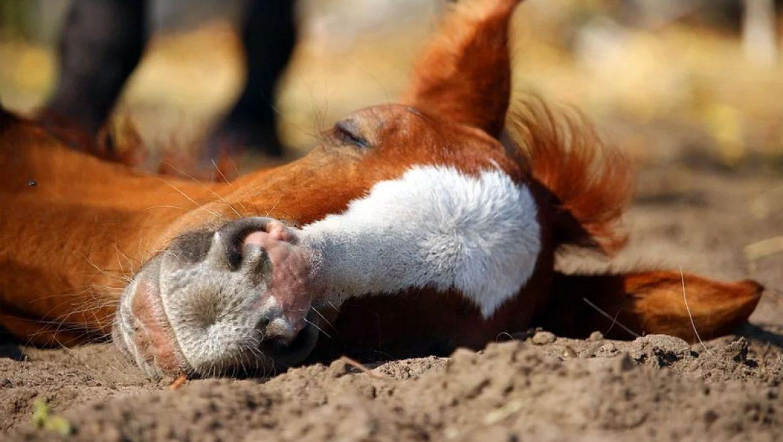 איך סוסים ישנים?